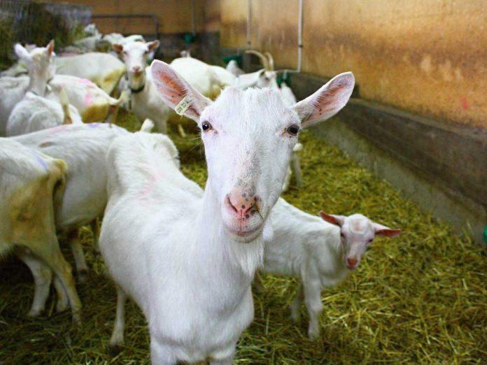 Выгодная коза