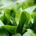 Рапунцель - полевой салат