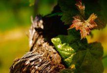 Виноградная лоза - это философия жизни