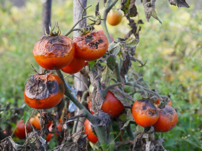 Защитим томаты от фитофтороза