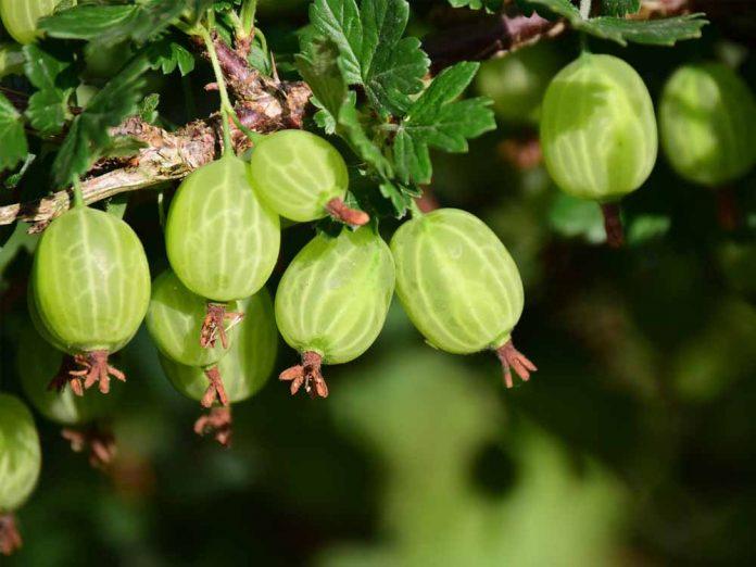 Повышаем качество ягод крыжовника при помощи секатора