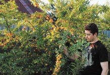 Гибридная алыча. Автор Д. Терентьев демонстрирует урожай алычи сорта Гек.