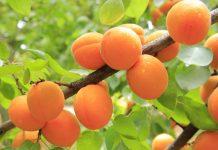 Семена абрикоса при прямой посадке в грунт всходят очень хорошо.