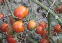 помідори Черрі