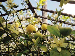 Лимони під укриттям.