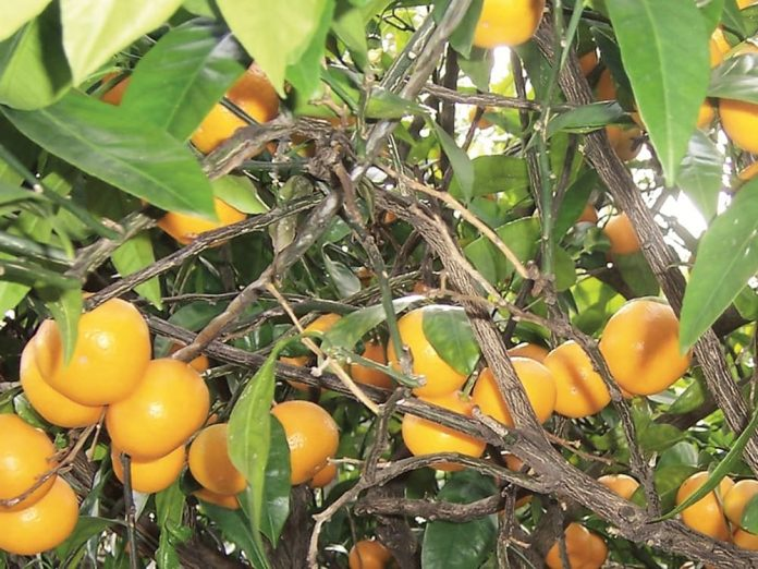 Мандарини, плодоносні під укриттям.