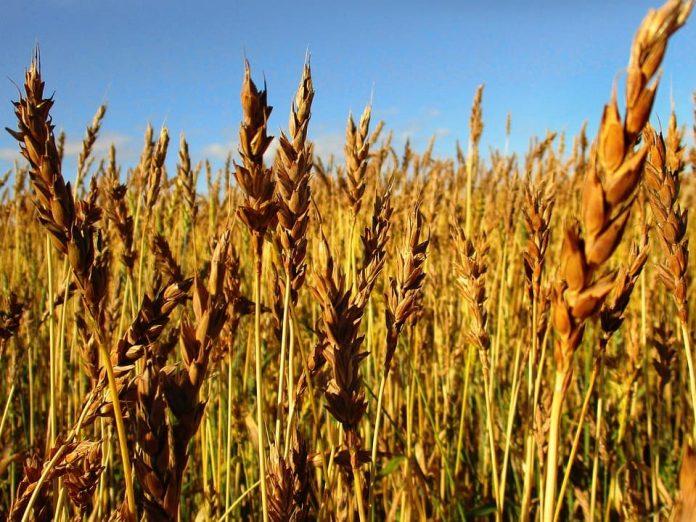 Пожовтіння рослин озимої пшениці і ячменю