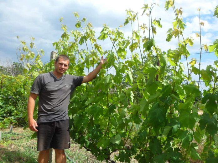 Руслан Панченко на своем винограднике.