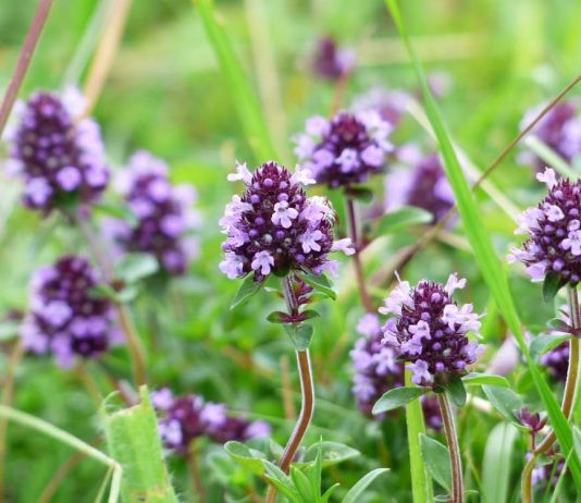 Тимьян цветет