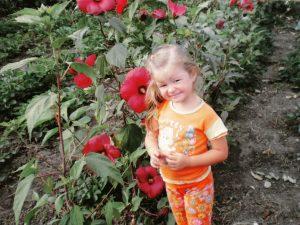 Улюблені квіти - гібіскуси трав'янисті