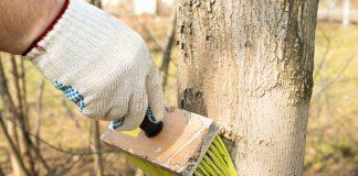 На зиму деревья рекомендуется белить