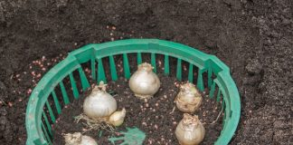 Гіацинти в кошик для посадки цибулин в на клумбі
