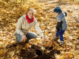 Посадка молодого дерева