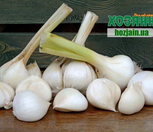 Рокамболь або Elephant Giant Garlic