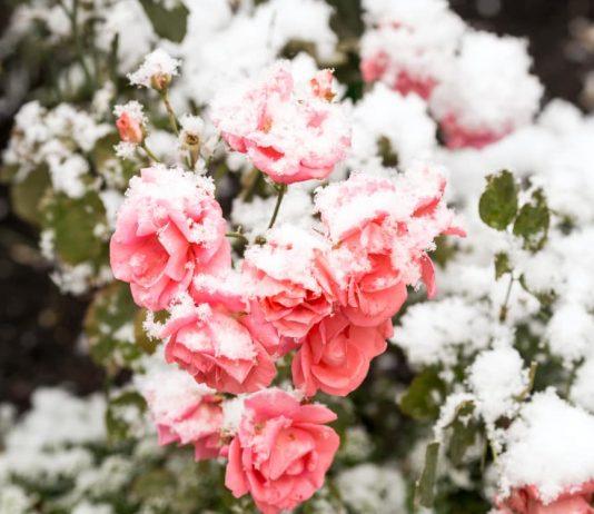 Розы зимой
