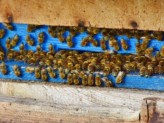 Бджолина сім'я