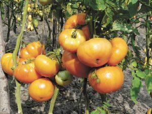 Амана оранж.