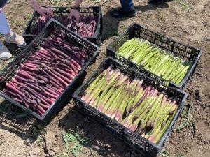 Урожай спаржи зеленой и фиолетовой