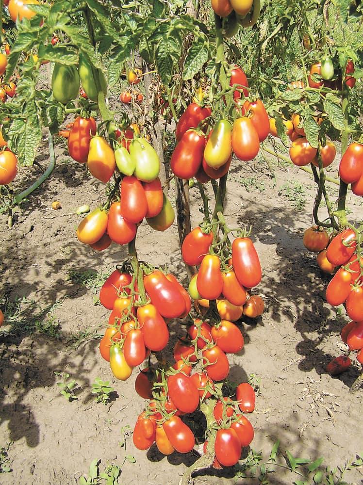 Помидоры французский гроздевой отзывы фото
