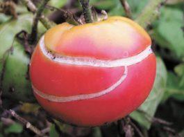 Растрескивание плодов