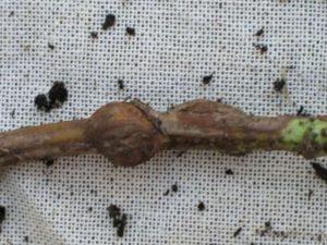 Галл на стебле (стеблевая галлица)