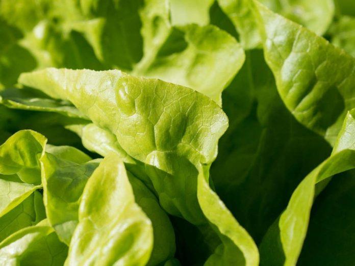 Как выращивать салат, чтобы он был вкусным?