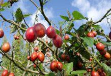 Цифомандра - помидорное дерево