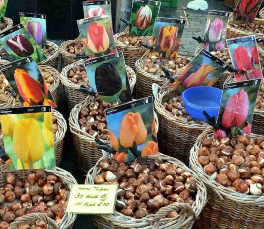 Купівля цибулин квітів взимку і навесні