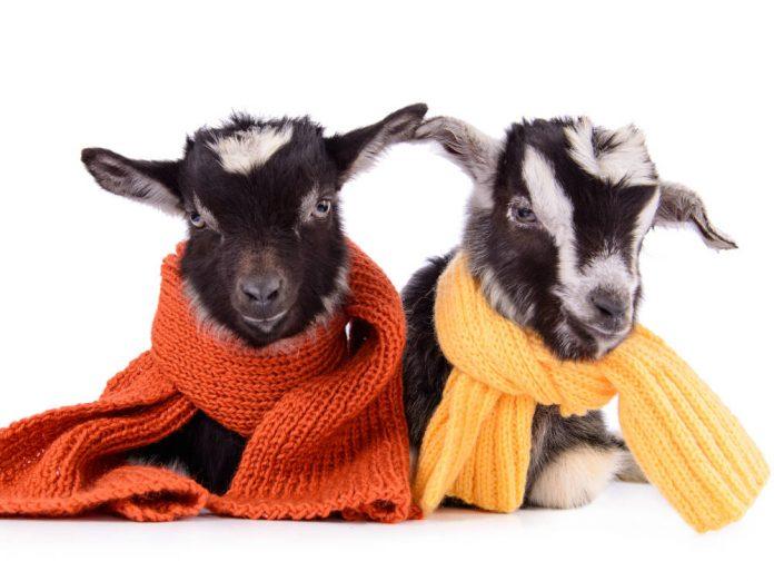 Уход за приплодом молодняка зимой: козлята, телята, поросята