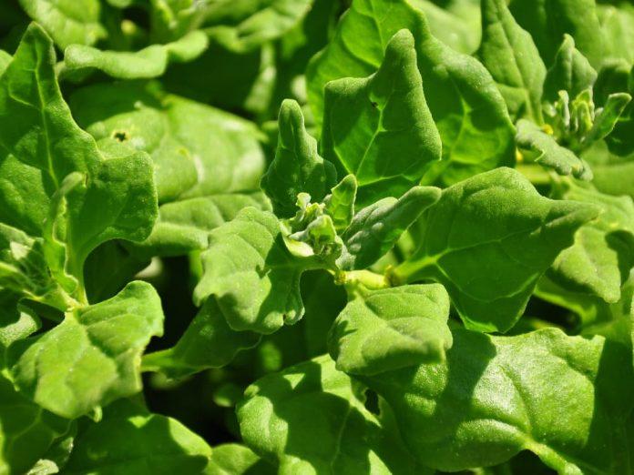 Новозеландский шпинат - витаминный продукт