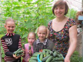 Урожай тепличных огурцов и семья Андрей Марченко