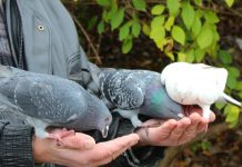 Выращивание голубей