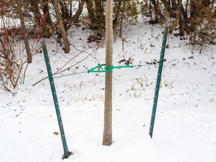Пересадка деревьев зимой