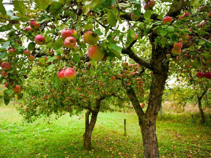 Обустраиваем яблоневый сад