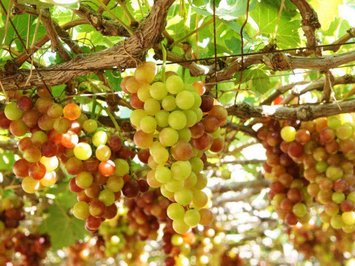 Сорта винограда, с которыми легко