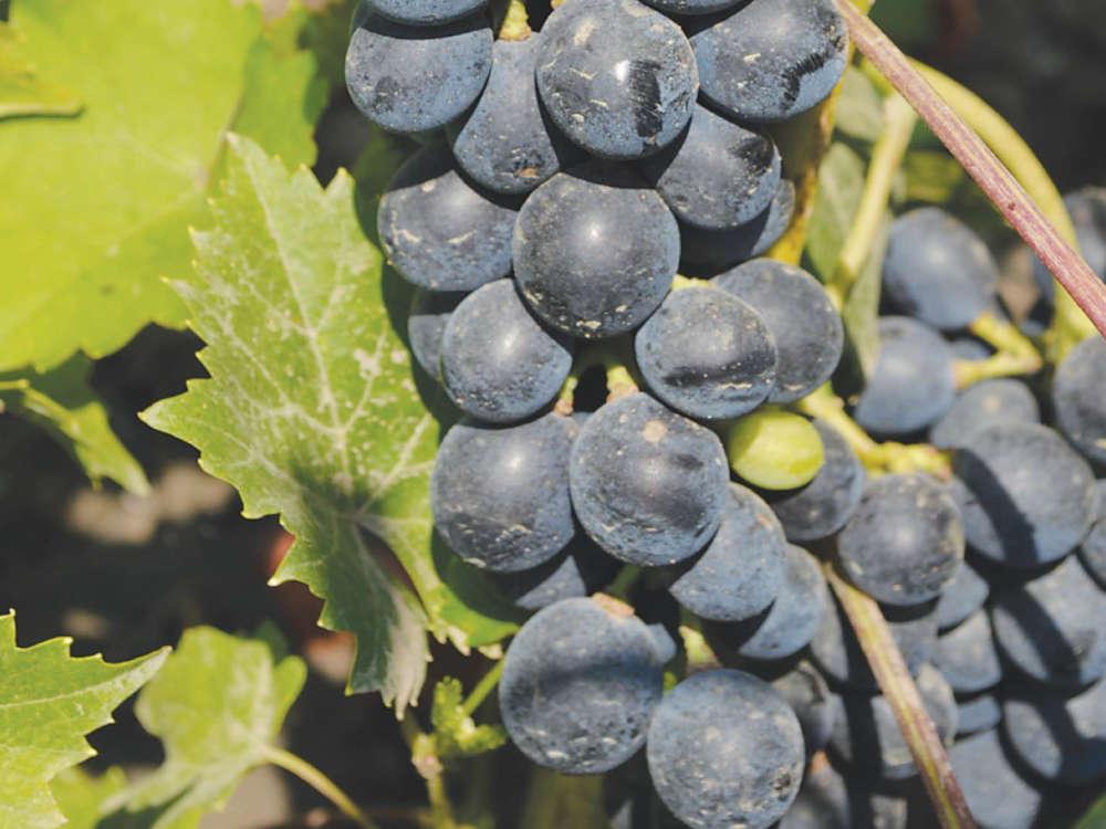 Виноград - это благодарное растение