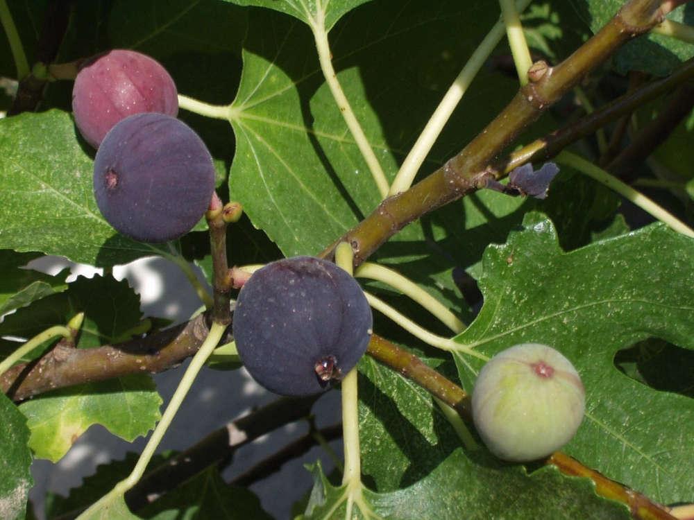Инжир или смоква - приятная и полезная