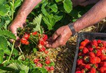 Как я выращиваю клубнику