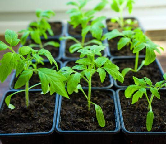 Здоровая рассада - гарантия высокого урожая