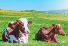 Корова на подворье