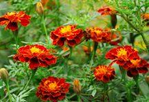 Чорнобривці - не тільки квітка
