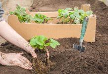 Клубника: время и сорта для весенней посадки