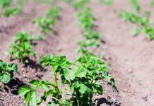 Получение органического картофеля