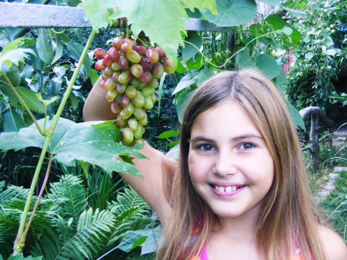 Внучка Злата с сигналкой грозди сорта Арочный.