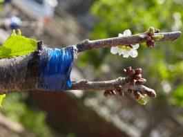Весенняя прививка деревьев. Опыт садовода