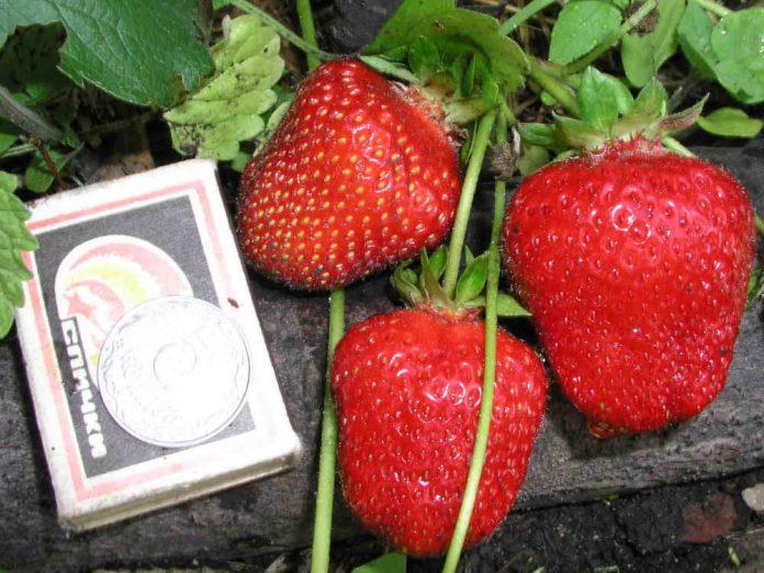 Ремонтантная земляника Референта дает крупные ягоды.