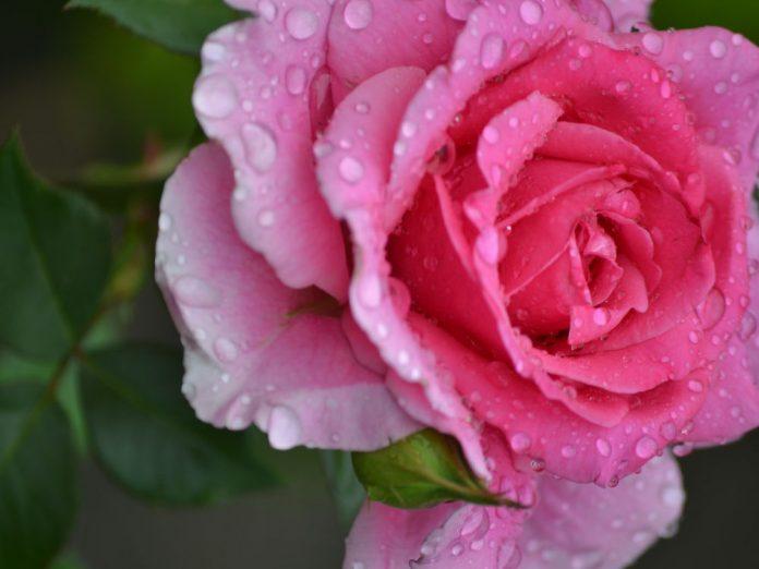 Роза: королева сада в капельках утренней росы