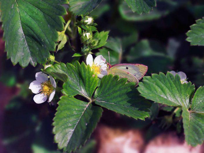 Уход за клубникой весной: чистота - залог здоровья