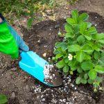 Подкормка садовой земляники или клубники