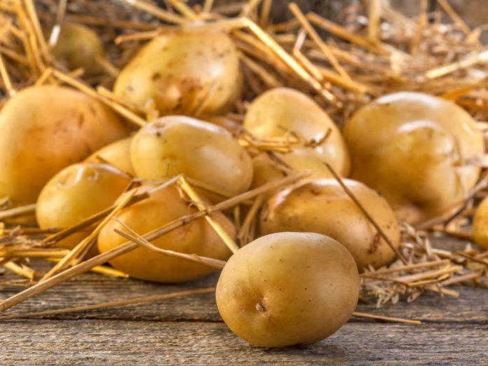 Щедрий урожай картоплі під соломою
